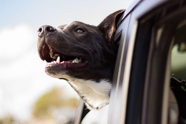 Cómo llevar al perro en el coche