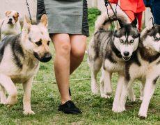 razas de perro mas inteligentes