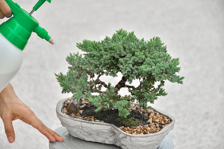 ¿Cuáles son los cuidados de un bonsái?